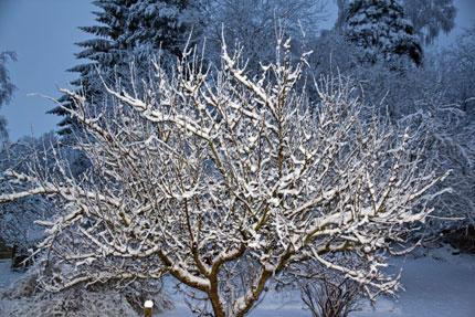 Första liggande snö på Äppleträd